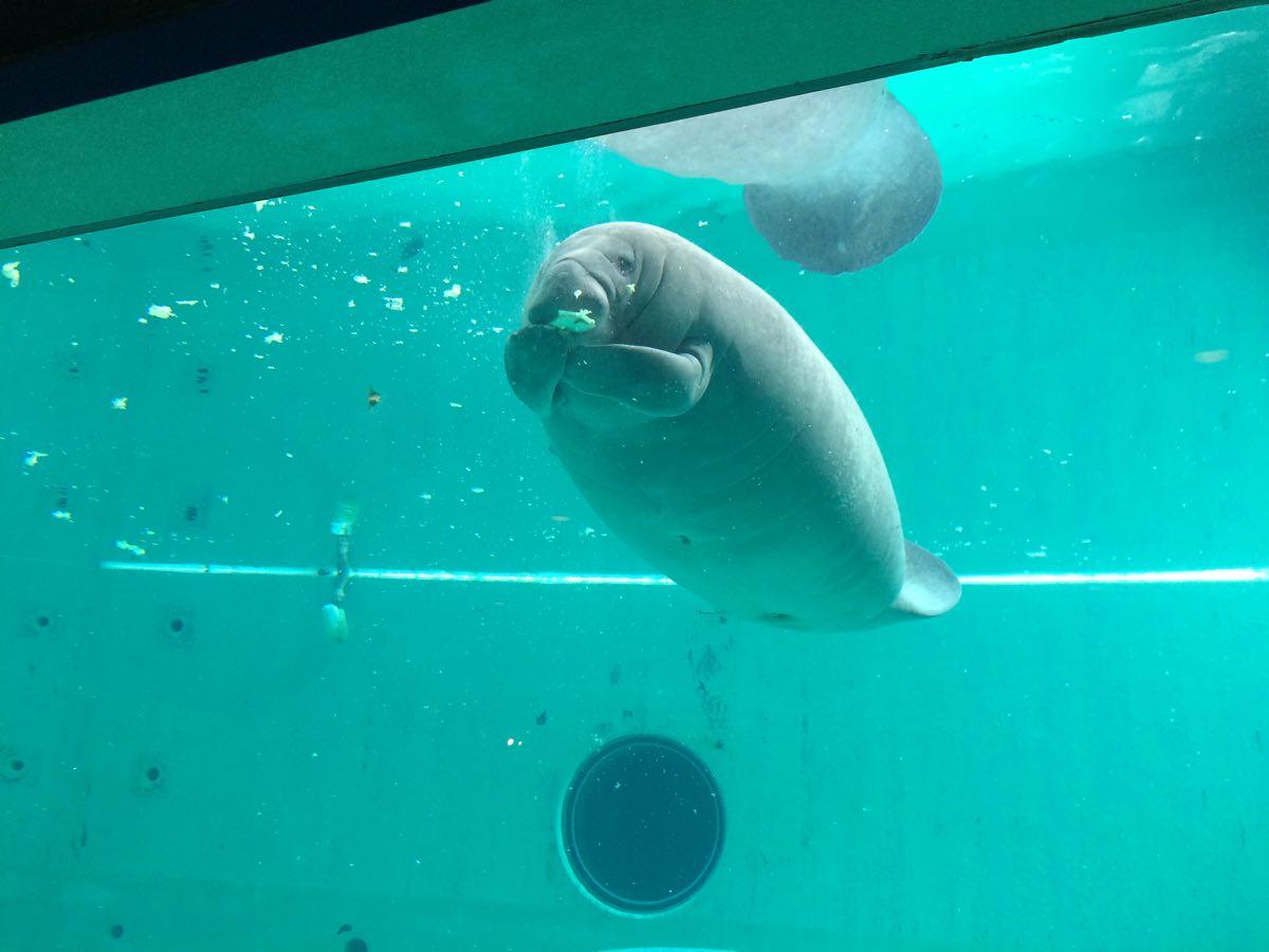 美ら海水族館マナティ