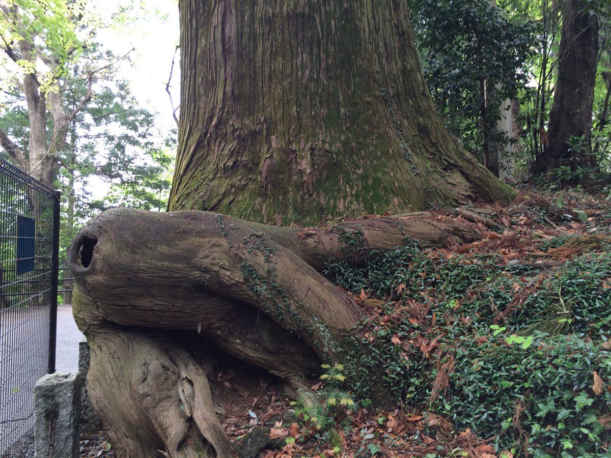 高尾山1号路、蛸杉